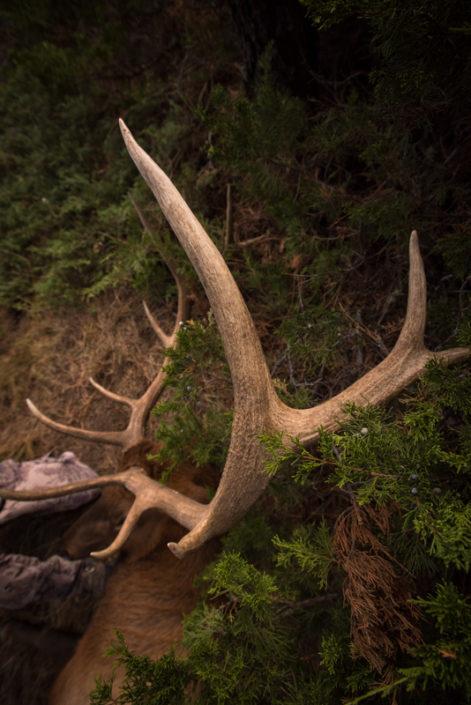 elk, tine, hunting, archery, montana, wild, missouri breaks, public land, diy