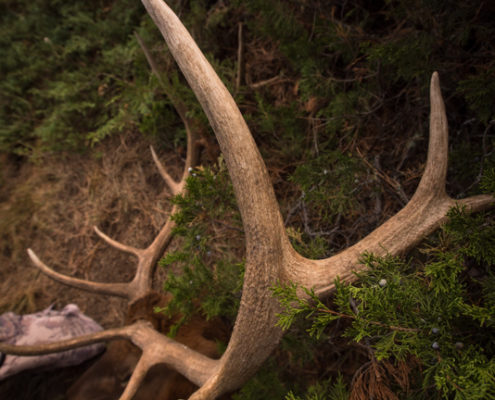 elk, tine, hunting, archery, montana, wild, missouri breaks, public land, diy