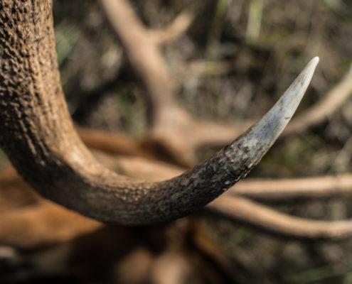 elk, tine, hunting, archery, montana, wild